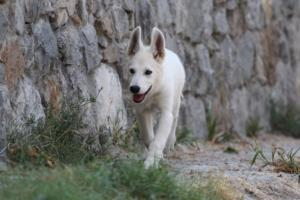 White-Swiss-Shepherd-Puppies-BTWW-Ninjas-230819-0039
