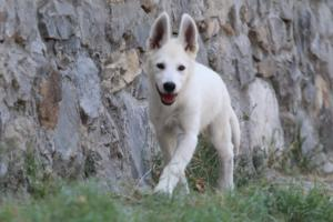 White-Swiss-Shepherd-Puppies-BTWW-Ninjas-230819-0041