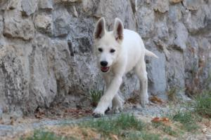White-Swiss-Shepherd-Puppies-BTWW-Ninjas-230819-0042