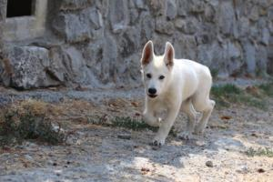 White-Swiss-Shepherd-Puppies-BTWW-Ninjas-230819-0043