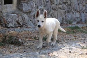 White-Swiss-Shepherd-Puppies-BTWW-Ninjas-230819-0044