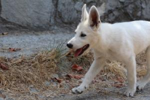 White-Swiss-Shepherd-Puppies-BTWW-Ninjas-230819-0045