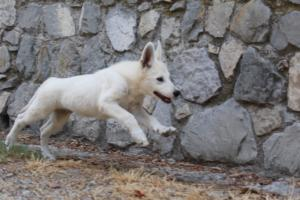 White-Swiss-Shepherd-Puppies-BTWW-Ninjas-230819-0047