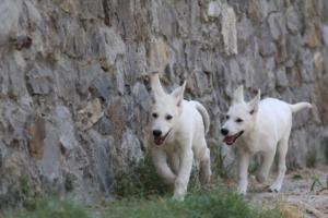 White-Swiss-Shepherd-Puppies-BTWW-Ninjas-230819-0048