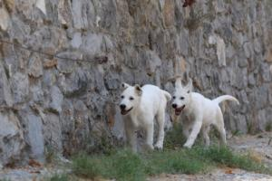 White-Swiss-Shepherd-Puppies-BTWW-Ninjas-230819-0049