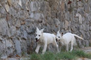 White-Swiss-Shepherd-Puppies-BTWW-Ninjas-230819-0050