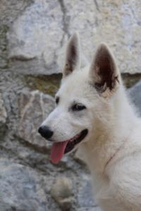 White-Swiss-Shepherd-Puppies-BTWW-Ninjas-230819-0052