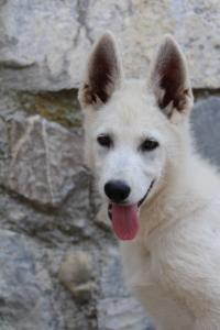 White-Swiss-Shepherd-Puppies-BTWW-Ninjas-230819-0053