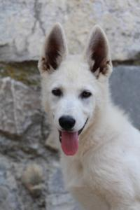 White-Swiss-Shepherd-Puppies-BTWW-Ninjas-230819-0054