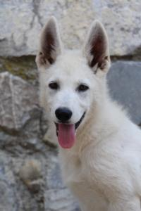 White-Swiss-Shepherd-Puppies-BTWW-Ninjas-230819-0055