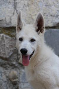 White-Swiss-Shepherd-Puppies-BTWW-Ninjas-230819-0056