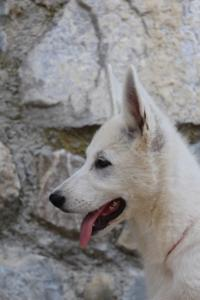 White-Swiss-Shepherd-Puppies-BTWW-Ninjas-230819-0057