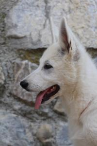 White-Swiss-Shepherd-Puppies-BTWW-Ninjas-230819-0060
