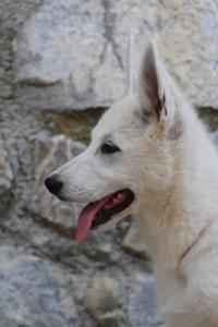 White-Swiss-Shepherd-Puppies-BTWW-Ninjas-230819-0062