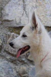 White-Swiss-Shepherd-Puppies-BTWW-Ninjas-230819-0063