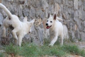 White-Swiss-Shepherd-Puppies-BTWW-Ninjas-230819-0064