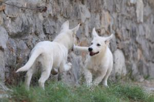 White-Swiss-Shepherd-Puppies-BTWW-Ninjas-230819-0065