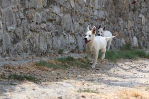 White-Swiss-Shepherd-Puppies-BTWW-Ninjas-230819-0067