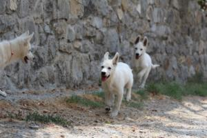 White-Swiss-Shepherd-Puppies-BTWW-Ninjas-230819-0068
