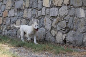 White-Swiss-Shepherd-Puppies-BTWW-Ninjas-230819-0070