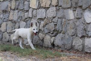 White-Swiss-Shepherd-Puppies-BTWW-Ninjas-230819-0071