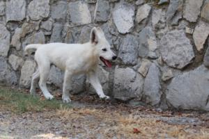 White-Swiss-Shepherd-Puppies-BTWW-Ninjas-230819-0072
