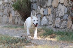 White-Swiss-Shepherd-Puppies-BTWW-Ninjas-230819-0074