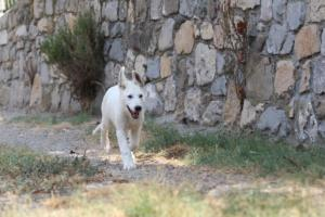 White-Swiss-Shepherd-Puppies-BTWW-Ninjas-230819-0075