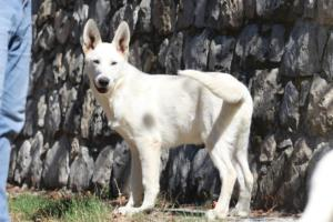 White-Swiss-Shepherd-Puppy-001