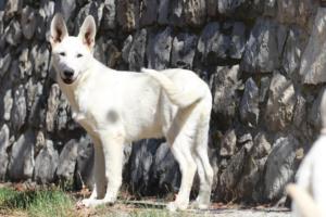 White-Swiss-Shepherd-Puppy-002