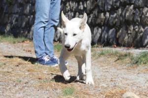 White-Swiss-Shepherd-Puppy-003
