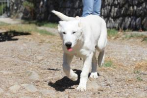 White-Swiss-Shepherd-Puppy-005
