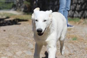 White-Swiss-Shepherd-Puppy-006