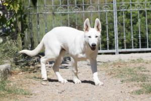 White-Swiss-Shepherd-Puppy-007