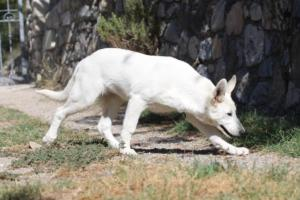 White-Swiss-Shepherd-Puppy-008