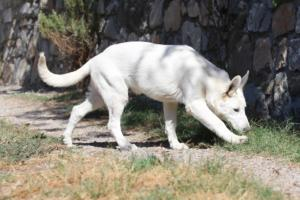 White-Swiss-Shepherd-Puppy-009