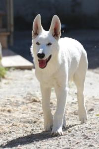 White-Swiss-Shepherd-Puppy-010