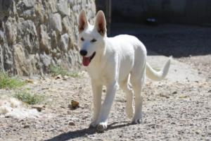 White-Swiss-Shepherd-Puppy-012