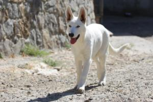 White-Swiss-Shepherd-Puppy-013