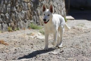 White-Swiss-Shepherd-Puppy-014