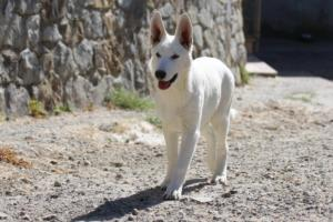 White-Swiss-Shepherd-Puppy-015