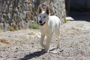 White-Swiss-Shepherd-Puppy-016