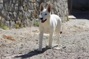White-Swiss-Shepherd-Puppy-017