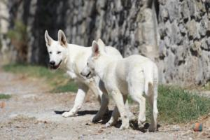 White-Swiss-Shepherd-Puppy-018