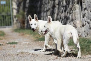 White-Swiss-Shepherd-Puppy-019