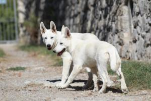 White-Swiss-Shepherd-Puppy-020