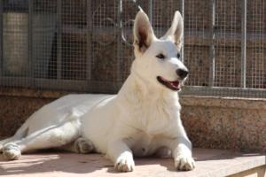 White-Swiss-Shepherd-Puppy-021