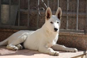 White-Swiss-Shepherd-Puppy-022