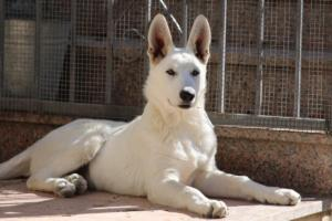 White-Swiss-Shepherd-Puppy-023