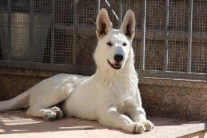 White-Swiss-Shepherd-Puppy-024